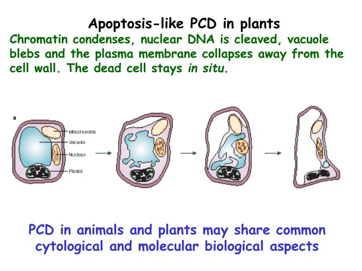 Apoptosis-like PCD in plants