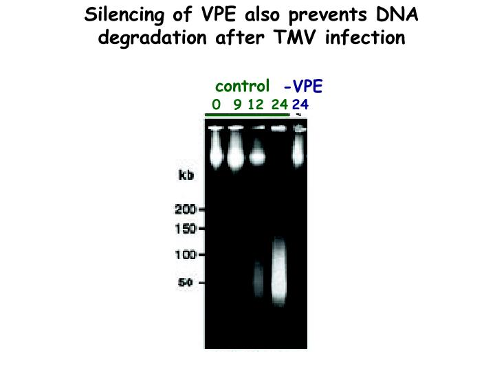 Silencing of VPE also prevents DNA degradation after TMV infection
