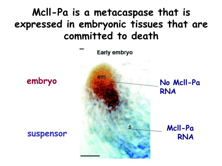 Mcll-Pa is a metacaspase that is expressed in embryonic tissues that are committed to death
