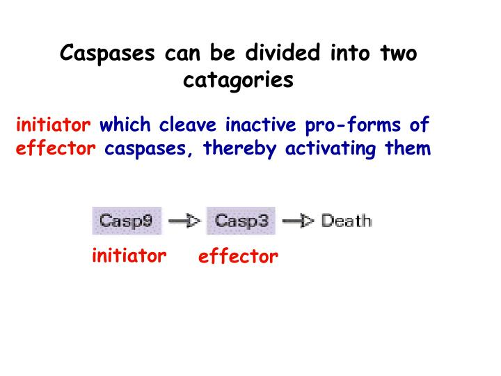 Caspases can be divided into two catagories