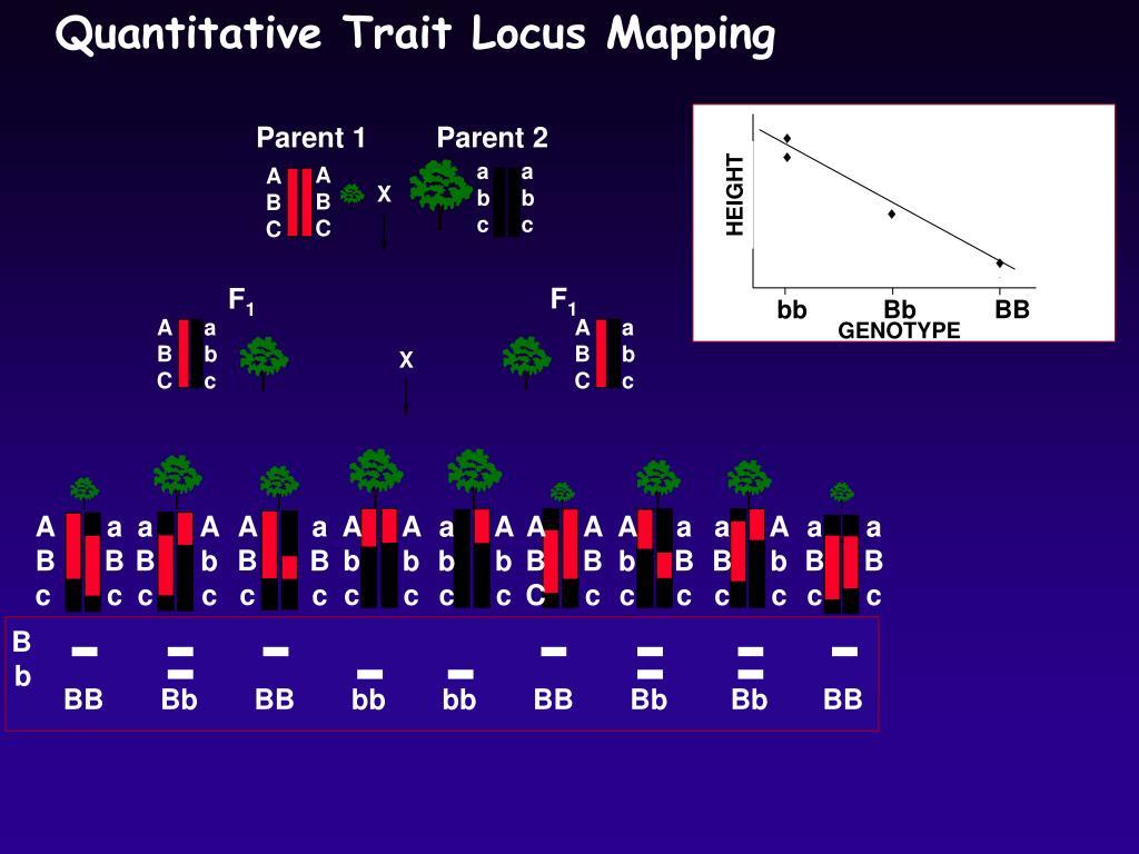 PPT - Reverse genetics: Quanative Trait Locus (QTL) mapping ... Quanative Trait Loci Mapping on