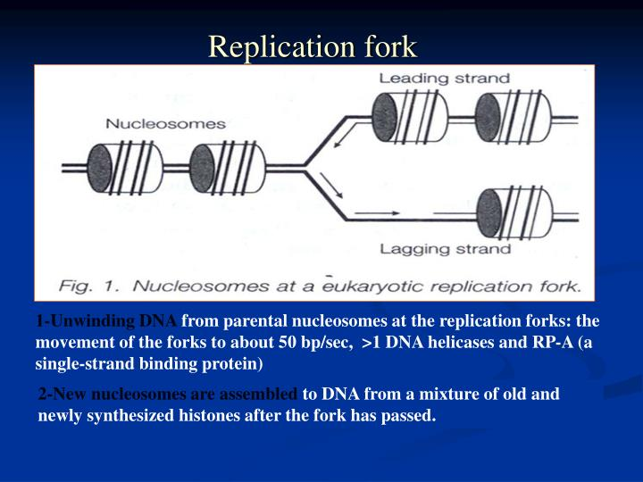 Replication fork