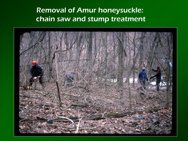 Removal of Amur honeysuckle: