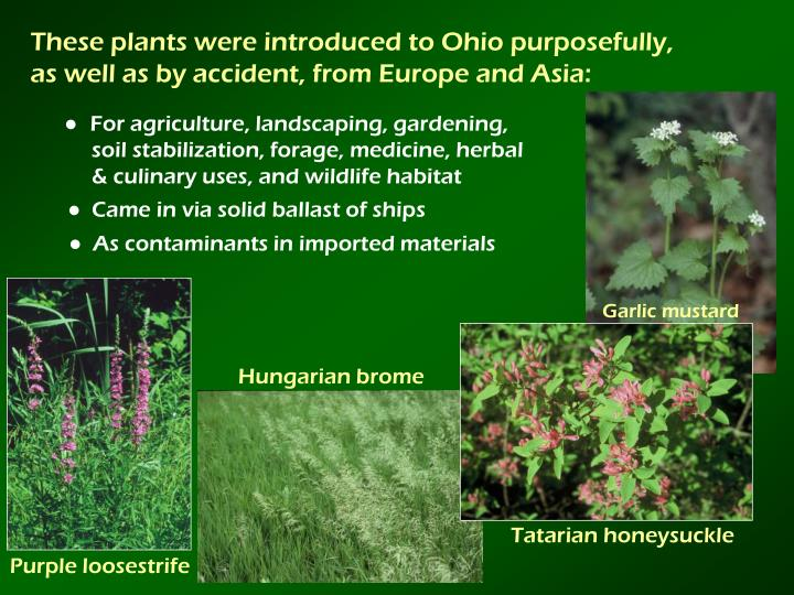 These plants were introduced to Ohio purposefully,