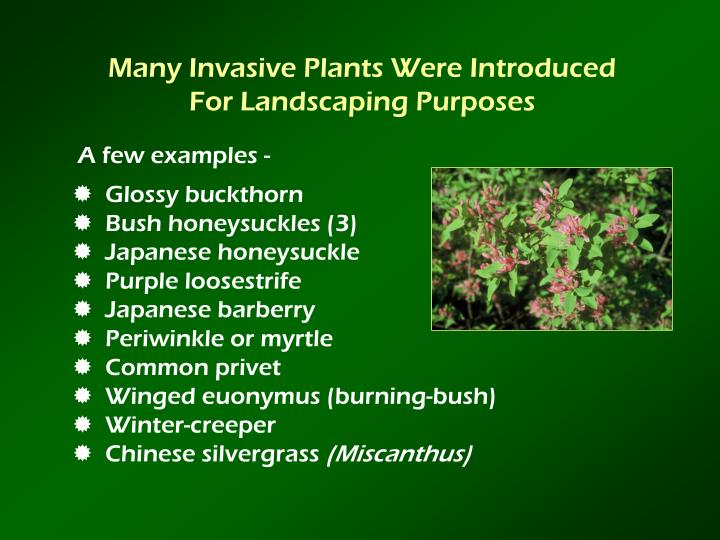 Many Invasive Plants Were Introduced