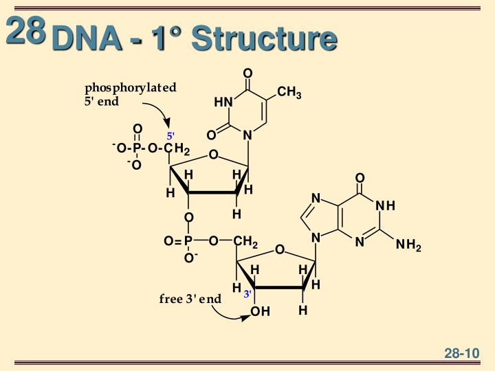 DNA - 1° Structure