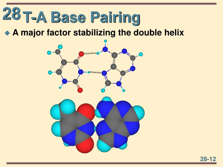 T-A Base Pairing