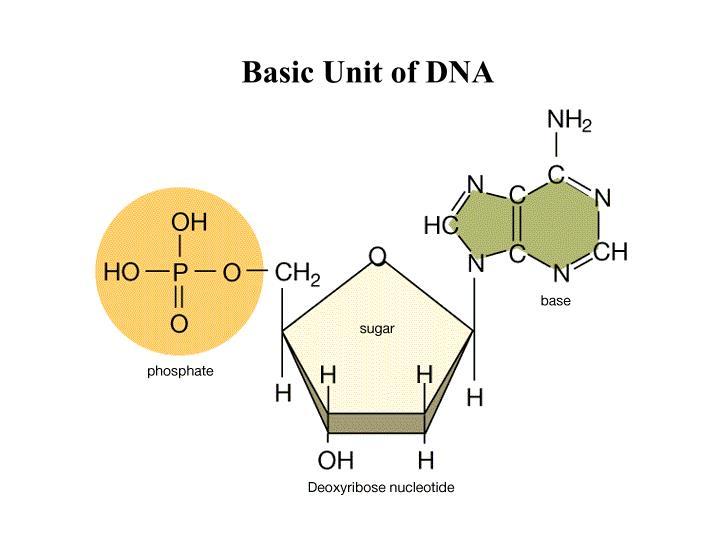 Basic Unit of DNA