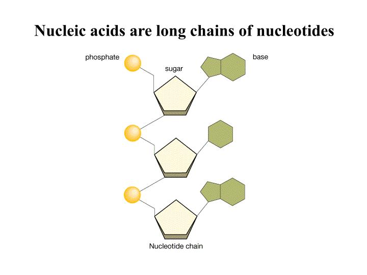 Nucleic acids are long chains of nucleotides