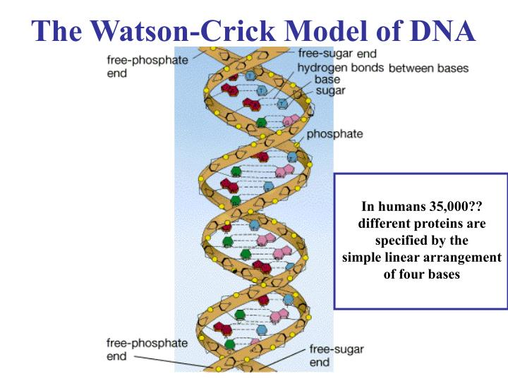 In humans 35,000?? different proteins are specified by the