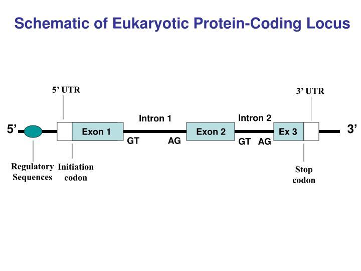 Schematic of Eukaryotic Protein-Coding Locus