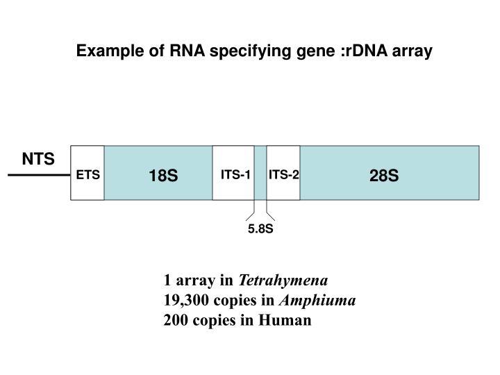 Example of RNA specifying gene :rDNA array