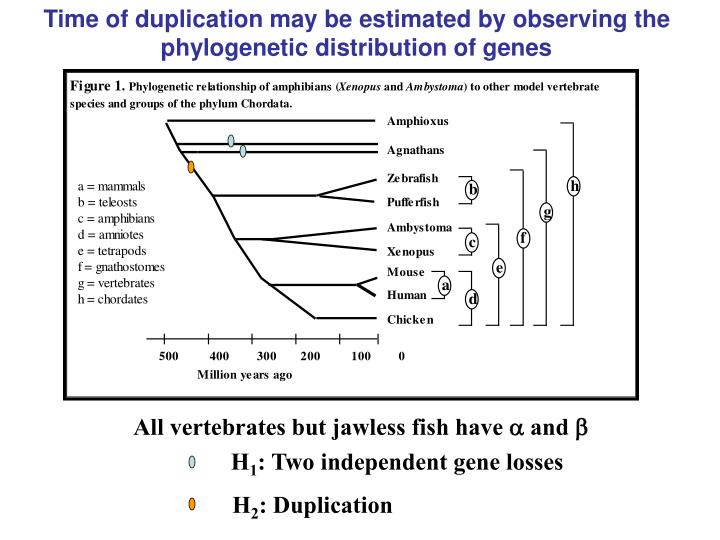 Time of duplication may be estimated by observing the