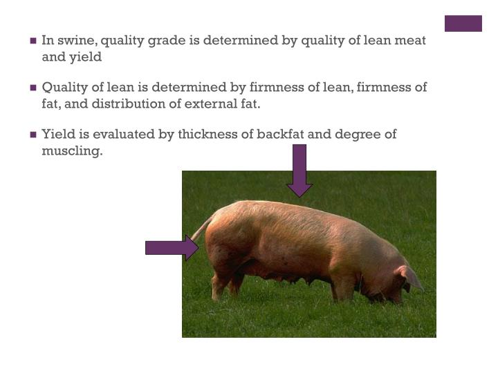 In swine, quality grade is determined by quality of lean meat and yield