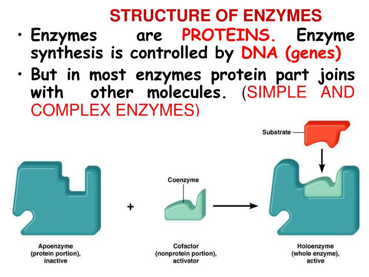STRUCTURE OF ENZYMES