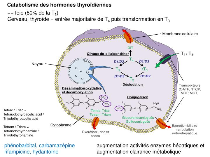 Catabolisme des hormones thyroïdiennes