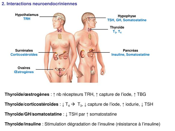2. Interactions neuroendocriniennes