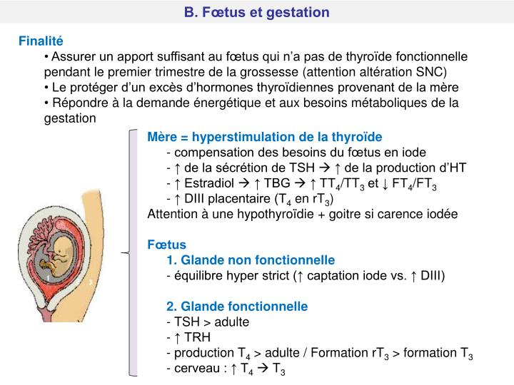B. Fœtus et gestation