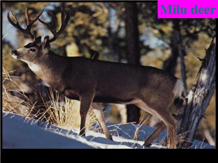 Milu deer