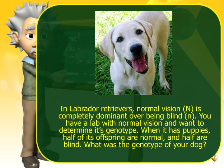 In Labrador retrievers, normal vision (N) is completely dominant over being blind (n). You have a la...