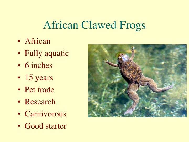 African Clawed Frogs
