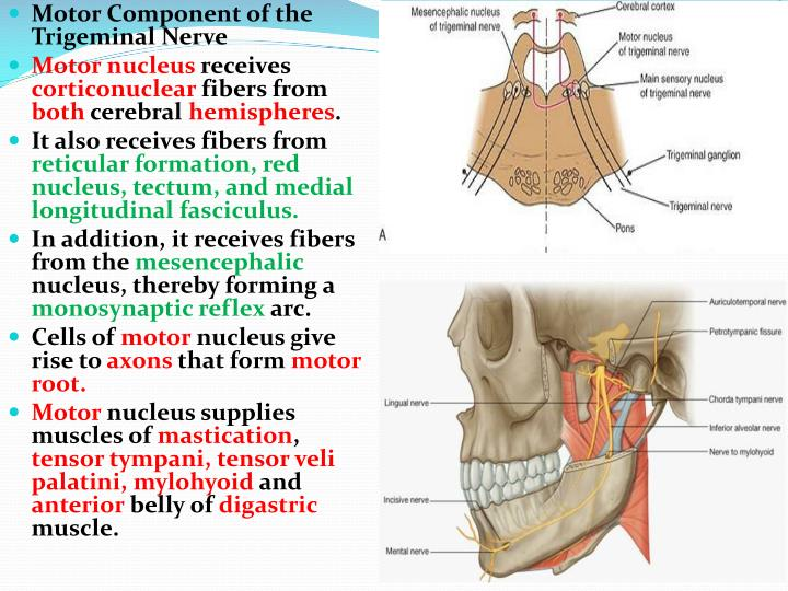 Ppt The Trigeminal Nerve Powerpoint Presentation Id4684887