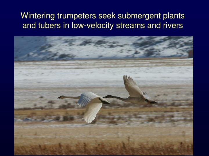 Wintering trumpeters seek submergent plants and tubers in low-velocity streams and rivers
