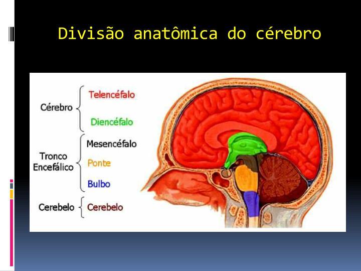 Divisão anatômica do cérebro