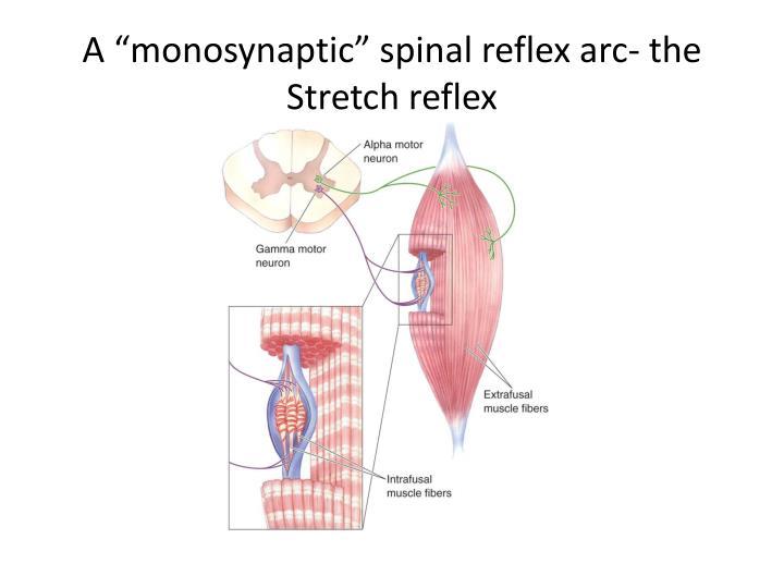 "A ""monosynaptic"" spinal reflex arc- the Stretch reflex"