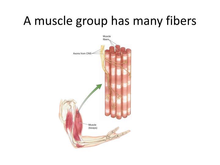A muscle group has many fibers