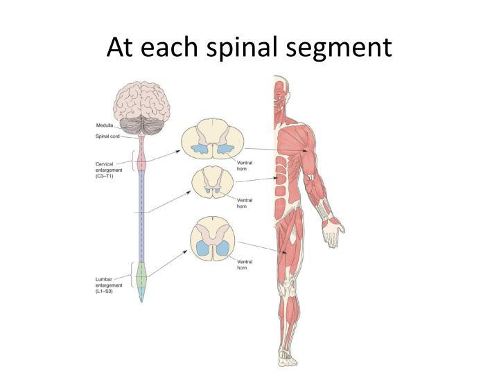 At each spinal segment