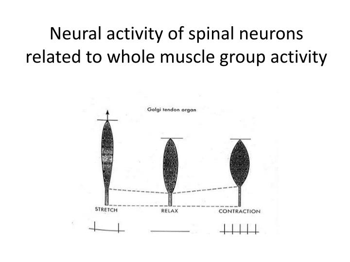 Neural activity of spinal neurons related to whole muscle group activity