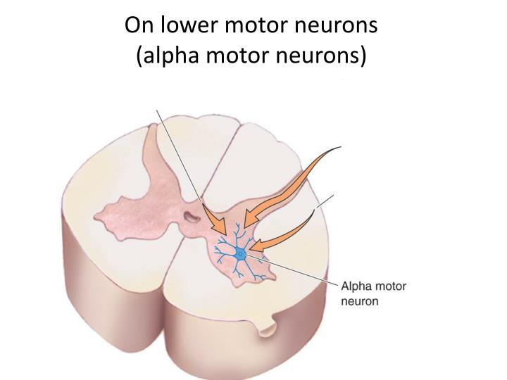 On lower motor neurons