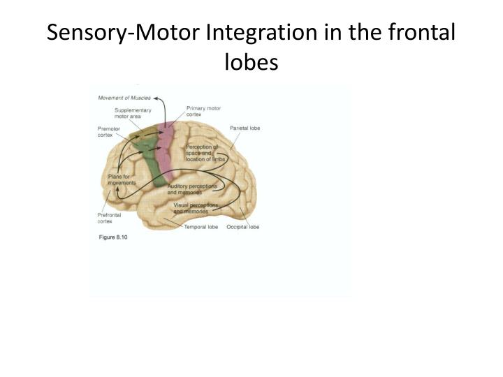 Sensory-Motor Integration in the frontal lobes