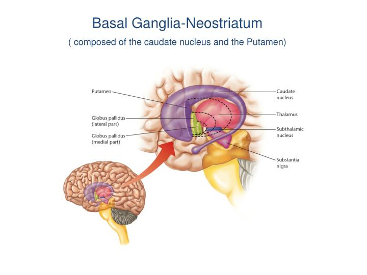 Basal Ganglia-Neostriatum