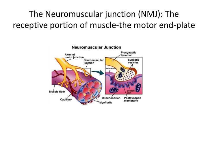 The Neuromuscular junction (NMJ): The receptive portion of muscle-the motor end-plate
