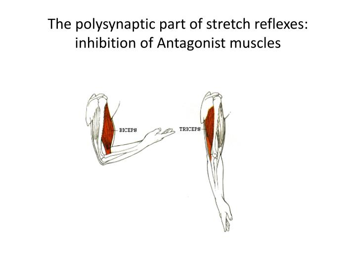 The polysynaptic part of stretch reflexes: inhibition of Antagonist muscles