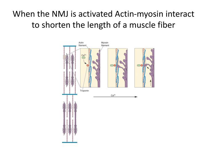 When the NMJ is activated Actin-myosin interact to shorten the length of a muscle fiber