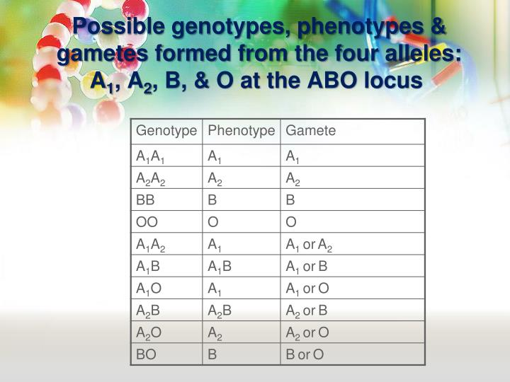Possible genotypes, phenotypes & gametes formed from the four alleles: A