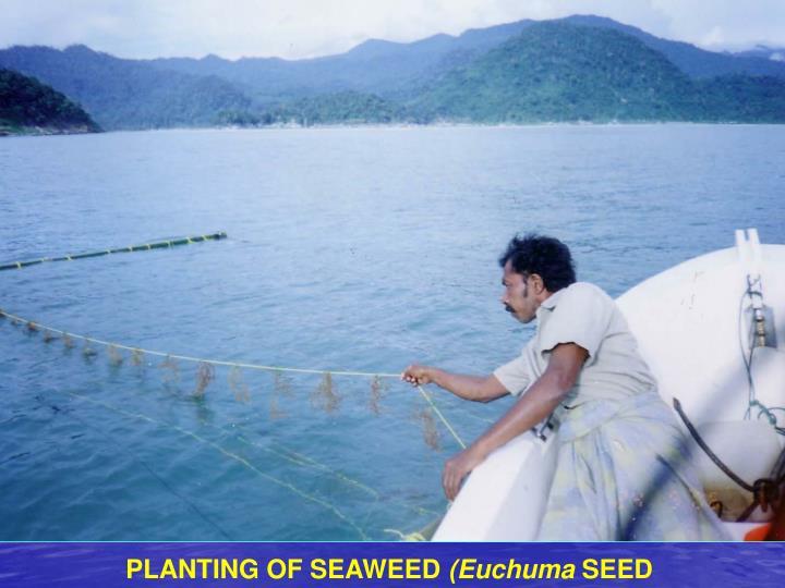 PLANTING OF SEAWEED