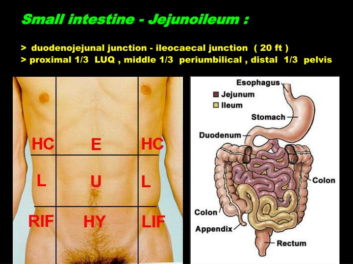 PPT - Anatomy of Lower Gastrointestinal Tract PowerPoint ...