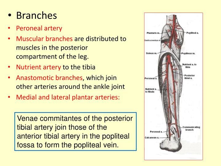 Ppt Posterior Compartment Of The Leg Powerpoint Presentation Id