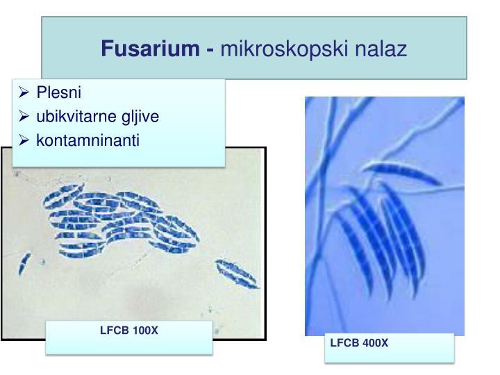 Fusarium -