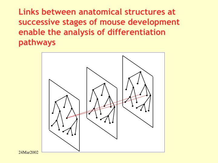 Links between anatomical structures at successive stages of mouse development enable the analysis of differentiation pathways