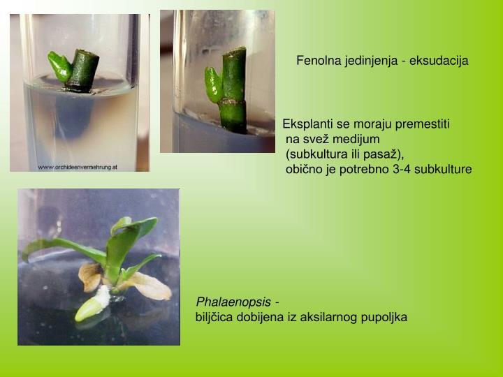 Fenolna jedinjenja - eksudacija