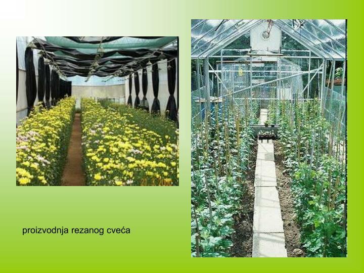 proizvodnja rezanog cveća