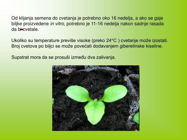 Od klijanja semena do cvetanja je potrebno oko 16 nedelja, a ako se gaje biljke proizvedene