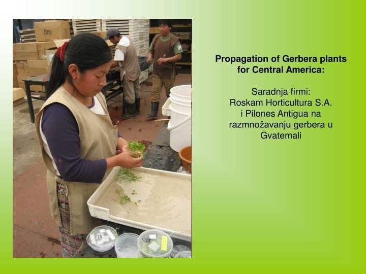 Propagation of Gerbera plants for Central America: