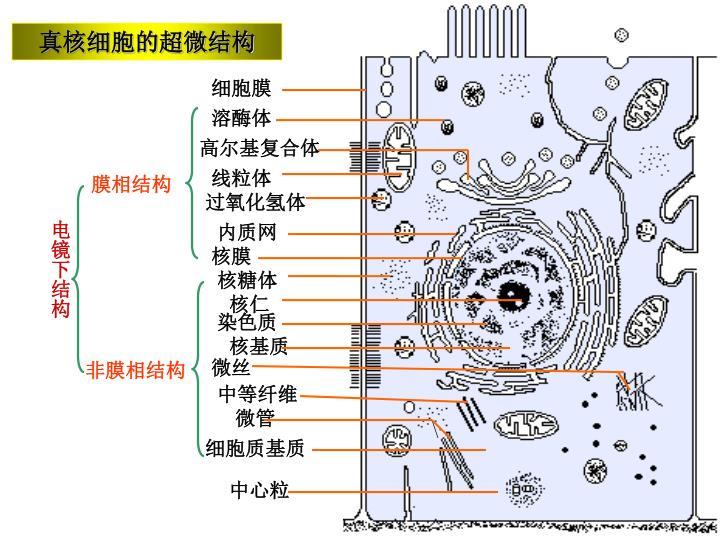 真核细胞的超微结构
