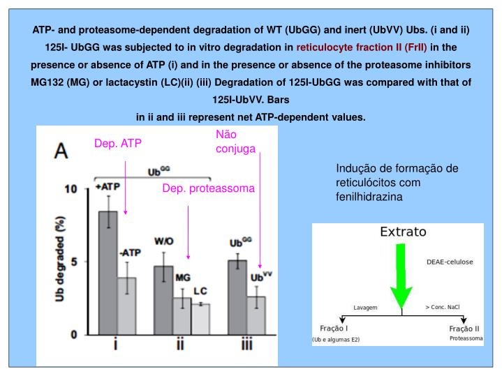 ATP- and proteasome-dependent degradation of WT (UbGG) and inert (UbVV) Ubs. (